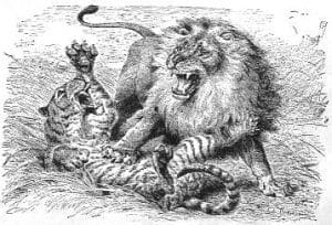 Tiger and Lion Wrestle